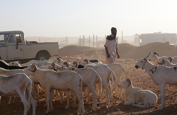 A man herds goats near the Sahrawi refugee camp of Rabouni